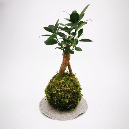 Photo Kokedama Ficus - Photo n°1