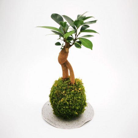 Photo Kokedama Ficus - Photo n°2