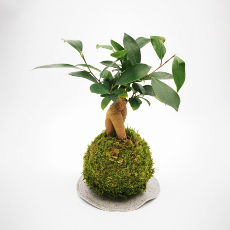 Photo Kokedama Ficus - Photo n°3
