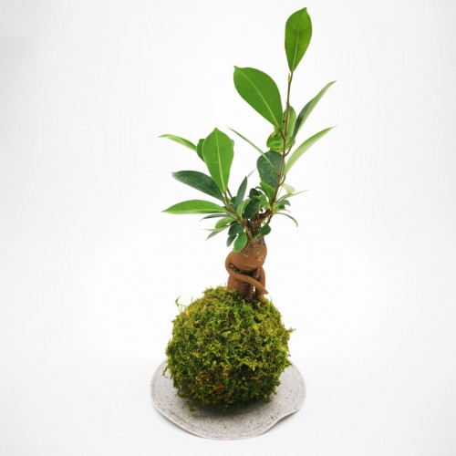 Photo Kokedama Ficus - Photo n°4