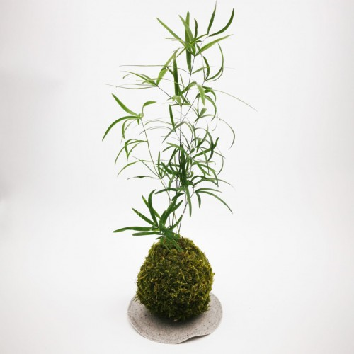 Photo Kokedama Asparagus - Photo n°1