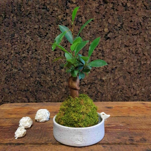 Photo Kokedama Ficus - Photo n°5